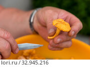 Eierschwammerl werden mit Messer geputzt - Nahaufnahme Pfifferling. Стоковое фото, фотограф Zoonar.com/Alfred Hofer / easy Fotostock / Фотобанк Лори
