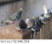 Купить «Flock of gray pigeons», фото № 32946764, снято 13 ноября 2012 г. (c) Argument / Фотобанк Лори