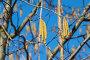 Купить «Серёжки ольхи крупным планом на фоне голубого неба», фото № 32946832, снято 11 апреля 2019 г. (c) Елена Коромыслова / Фотобанк Лори