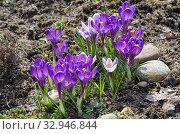 Сиреневые крокусы (лат. Crocus) цветут в саду. Стоковое фото, фотограф Елена Коромыслова / Фотобанк Лори