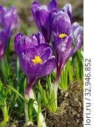 Цветущие фиолетовые крокусы (лат. Crocus) крупным планом. Стоковое фото, фотограф Елена Коромыслова / Фотобанк Лори
