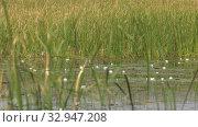 Купить «Карьерное озеро с белыми кувшинками. Quarry lake with white water lilies.», видеоролик № 32947208, снято 15 июня 2019 г. (c) Евгений Романов / Фотобанк Лори