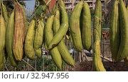 Sponge Gourd (Luffa aegyptiaca) is dried on the fence. Стоковое видео, видеограф Яков Филимонов / Фотобанк Лори