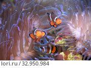 Купить «Рыбки-клоуны или амфиприоны (Amphiprioninae, Amphiprion) в актинии», фото № 32950984, снято 15 декабря 2019 г. (c) Татьяна Белова / Фотобанк Лори