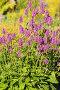 Купить «Буквица лекарственная (Betonica officinalis)», фото № 32952492, снято 12 июля 2018 г. (c) Юлия Бабкина / Фотобанк Лори