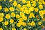 Купить «Девясил мечелистный (Inula ensifolia)», фото № 32952496, снято 12 июля 2018 г. (c) Юлия Бабкина / Фотобанк Лори