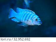 Купить «Пресноводная аквариумная рыба цихлида - Хаплохромис васильковый Sciaenochromis ahli», фото № 32952692, снято 1 января 2020 г. (c) Татьяна Белова / Фотобанк Лори