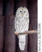 Птица сова. Длиннохвостая неясыть. Ural owl. Стоковое фото, фотограф Галина Савина / Фотобанк Лори