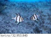 Купить «Апогон тюлевый или Рыба Кардинал Бангай (Pterapogon kauderni)», фото № 32953840, снято 12 января 2020 г. (c) Татьяна Белова / Фотобанк Лори