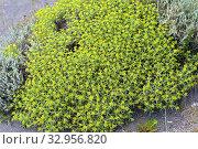 Купить «Hierba negra or hierba de la culebra (Mulinum spinosum) is a thorny cushion-like shrub endemic to Patagonia (Argentina and Chile). This photo was taken...», фото № 32956820, снято 7 декабря 2019 г. (c) age Fotostock / Фотобанк Лори