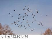 Купить «Flock of gray pigeons», фото № 32961476, снято 5 апреля 2008 г. (c) Argument / Фотобанк Лори