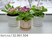 Разноцветные примулы (лат. Primula vulgaris) в горшках на подоконнике. Стоковое фото, фотограф Елена Коромыслова / Фотобанк Лори
