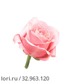 One pink rose flower isolated on white background. Стоковое фото, фотограф Юлия Бабкина / Фотобанк Лори