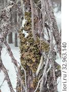 Купить «Лобария лёгочная (лат. Lobaria pulmonaria). Лишайник растет на дереве в лесу. Россия. Северная Карелия», фото № 32963140, снято 11 января 2020 г. (c) Наталья Осипова / Фотобанк Лори
