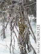 Купить «Лобария лёгочная (лат. Lobaria pulmonaria). Лишайник растет на дереве в лесу. Россия. Северная Карелия», фото № 32963212, снято 11 января 2020 г. (c) Наталья Осипова / Фотобанк Лори