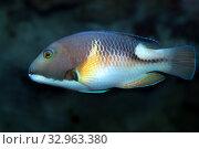 Морская рыба - губан желтоскулый (choerodon anchorago) Стоковое фото, фотограф Татьяна Белова / Фотобанк Лори