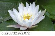 Купить «White water lily flower video blooming in the pond surrounded by leaves», видеоролик № 32972072, снято 30 июня 2019 г. (c) Serg Zastavkin / Фотобанк Лори