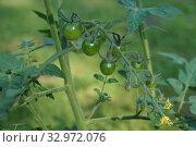 Купить «Помидоры черри на ветке. Созревающие томаты.», фото № 32972076, снято 29 июля 2018 г. (c) М Б / Фотобанк Лори