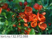 Купить «Цветение айвы весной. Красивые, красные, яркие цветы.», фото № 32972088, снято 13 мая 2019 г. (c) М Б / Фотобанк Лори