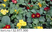 Купить «Green plantation of potted primula plants with bright colorful flowers cultivated in greenhouse», видеоролик № 32977300, снято 8 ноября 2019 г. (c) Яков Филимонов / Фотобанк Лори