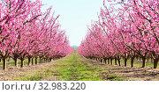 Купить «blooming peach trees in spring», фото № 32983220, снято 21 марта 2018 г. (c) Татьяна Яцевич / Фотобанк Лори