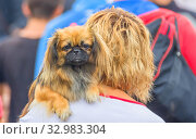 Купить «Beautiful shaggy dog in overalls sits in the hands of the mistress.», фото № 32983304, снято 5 июля 2014 г. (c) Акиньшин Владимир / Фотобанк Лори