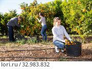 Купить «Group farmers picking carefully ripe mandarins on plantation», фото № 32983832, снято 8 апреля 2020 г. (c) Яков Филимонов / Фотобанк Лори