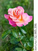 Rose. Pink flower in summer garden. Стоковое фото, фотограф Papoyan Irina / Фотобанк Лори