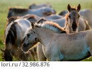 Купить «Herd of horses grazing in a meadow in the mist. Horses in a foggy meadow in autumn. Horses and foggy morning in Kemeri National Park, Latvia. Wild horses grazing in the meadow on misty summer morning.», фото № 32986876, снято 7 июня 2020 г. (c) easy Fotostock / Фотобанк Лори