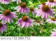 Купить «Эхинацея пурпурная (лат. Echinacea purpurea) в летнем саду», фото № 32989712, снято 28 июля 2019 г. (c) Елена Коромыслова / Фотобанк Лори