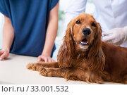 Vet doctor examining golden retriever dog in clinic. Стоковое фото, фотограф Elnur / Фотобанк Лори
