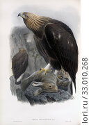 Купить «Golden Eagle. Aquila chrysaetos. After a work by English ornitholgist and bird artist John Gould, 1804 - 1881. From his book The Birds of Great Britain, published 1873.», фото № 33010268, снято 7 июля 2019 г. (c) age Fotostock / Фотобанк Лори
