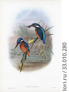 Купить «Common kingfisher. Alcedo Ispida. Now known as Alcedo atthis. After a work by English ornitholgist and bird artist John Gould, 1804 - 1881. From his book The Birds of Great Britain, published 1873.», фото № 33010280, снято 7 июля 2019 г. (c) age Fotostock / Фотобанк Лори