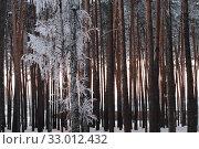 Купить «Иней в закатном свете. Бор.», эксклюзивное фото № 33012432, снято 8 января 2020 г. (c) Анатолий Матвейчук / Фотобанк Лори
