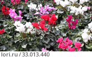 Купить «Blooming cyclamen with pink and red flowers growing in pots in greenhouse», видеоролик № 33013440, снято 8 ноября 2019 г. (c) Яков Филимонов / Фотобанк Лори