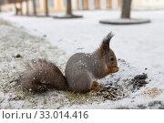 Купить «Рыжая белка ест семечки», фото № 33014416, снято 1 декабря 2019 г. (c) Литвяк Игорь / Фотобанк Лори