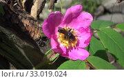 Black fly on a flower of wild rose. Стоковое видео, видеограф Олег Хархан / Фотобанк Лори