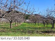 Купить «Rows of pistachio trees grow on a winter, sunny day», фото № 33020040, снято 8 декабря 2019 г. (c) Татьяна Ляпи / Фотобанк Лори