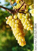 Green grape on vineyard. harvest for wine production. Стоковое фото, фотограф Дмитрий Калиновский / Фотобанк Лори