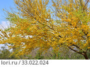 Chilean palo verde or chañar (Geoffroea decorticans) is a deciduous tree native to central and western South America. Its fruits and seeds are edible. Flowering plant. Стоковое фото, фотограф J M Barres / age Fotostock / Фотобанк Лори