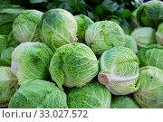 Savoy cabbages. Стоковое фото, фотограф Яков Филимонов / Фотобанк Лори