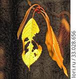 Купить «Yellow leaves on the dark background in autumn», иллюстрация № 33028656 (c) Парушин Евгений / Фотобанк Лори