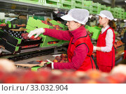 Купить «Female employee sorting fresh ripe peaches», фото № 33032904, снято 8 июня 2019 г. (c) Яков Филимонов / Фотобанк Лори