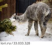 Купить «Альпака (лама)», фото № 33033328, снято 4 февраля 2020 г. (c) Галина Савина / Фотобанк Лори