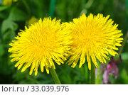 Желтые одуванчики (лат. Taraxacum) крупным планом. Стоковое фото, фотограф Елена Коромыслова / Фотобанк Лори