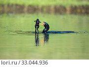 Купить «Reed Cormorant (Phalacrocorax africanus) swallowing frog, Herold's Bay, Garden Route, Western Cape Province, South Africa.», фото № 33044936, снято 6 апреля 2020 г. (c) Nature Picture Library / Фотобанк Лори