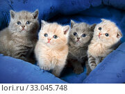 Four kitten any collor on textile basket. Стоковое фото, фотограф Алексей Хромушин / Фотобанк Лори