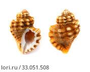 Купить «small seasnail isolated on white», фото № 33051508, снято 15 января 2020 г. (c) Tamara Kulikova / Фотобанк Лори
