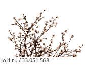 Купить «Цветущие ветки миндаля на белом фоне», фото № 33051568, снято 21 января 2020 г. (c) Tamara Kulikova / Фотобанк Лори