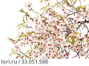 Купить «Цветущие ветки миндаля на белом фоне», фото № 33051588, снято 21 января 2020 г. (c) Tamara Kulikova / Фотобанк Лори